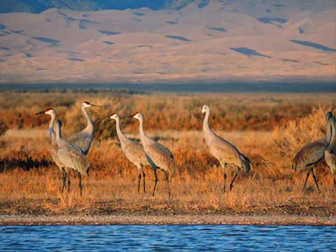 The Monte Vista Crane Festival is this weekend - March 11 & 12. Photo: Great Sand Dunes National Park and Preserve Facebook Page