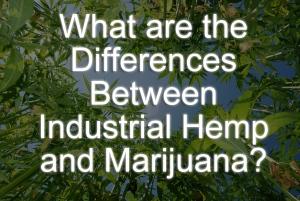 differenceshempmarijuana