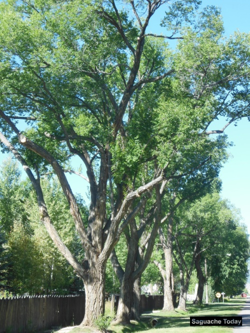 Trees_Easment_Saguache Today