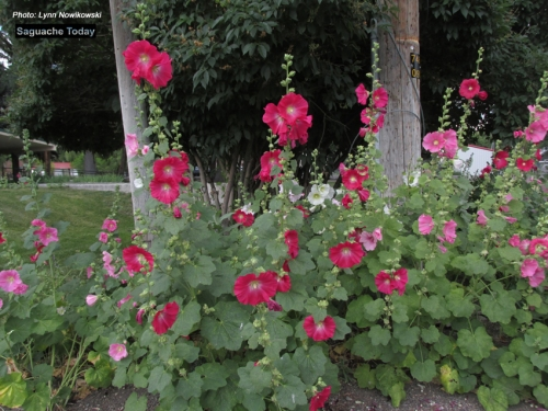 The 4th Annual Hollyhock Festival was held in Saguahce on July 30.
