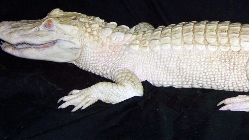 Mr. Bo Mangles is one of 5 albino alligators on display at Colorado Gators. There are only about 50 albino alligators in the world. Photo: Colorado Gators Reptile Park.