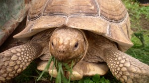 Doug is an African Sulcata tortoise. He is currently only 20 years old and about 65 pounds, but could live up to 150 years and get to to 250 pounds! Photo: Colorado Gators Reptile Park.