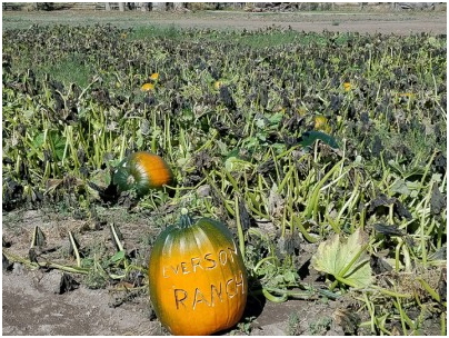 Pumpkins_Everson Ranch