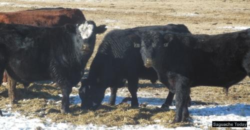 Cows_Saguache