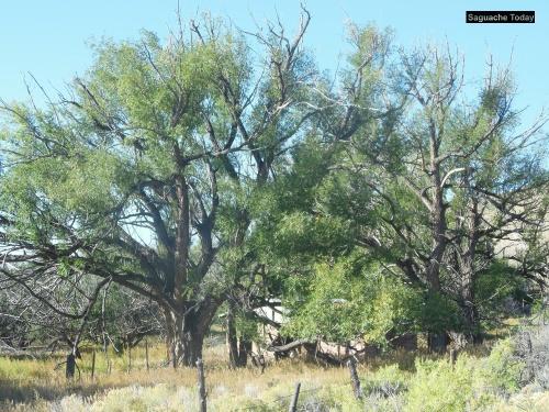 Saguache Trees