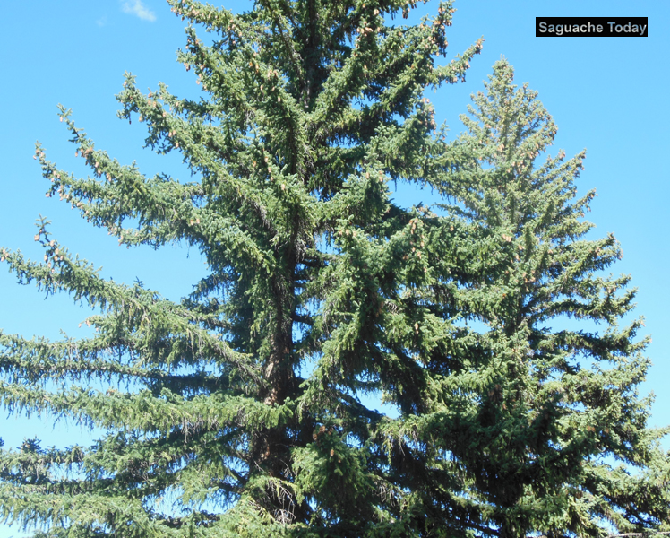 Saguache Today_Pine Tree