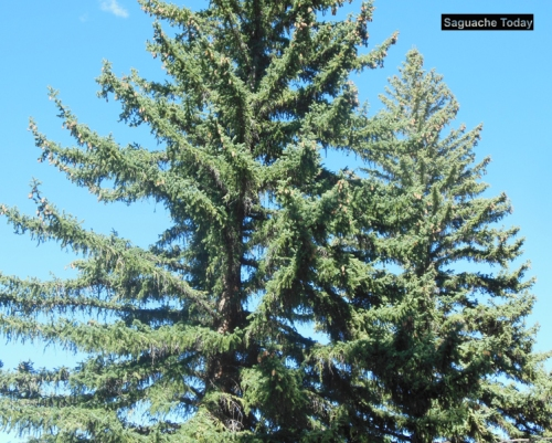 Saguache Today_Pine Tree