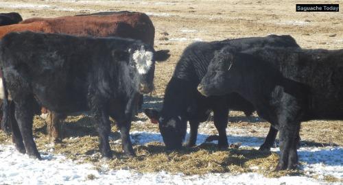 Cows_Saguache Today_1