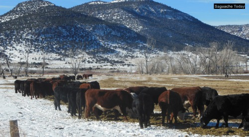 Cows_Saguache Today_2