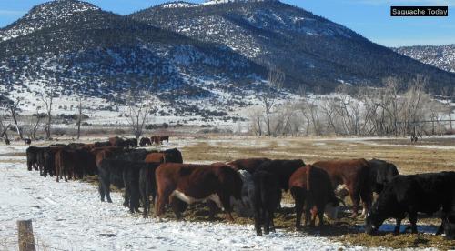 Cows_Saguache Today_2